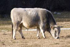 Free Bull Royalty Free Stock Photography - 8927017