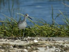 Free Western Willet Stock Photo - 8927340