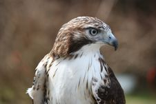 Free Red-tailed Hawk. Royalty Free Stock Images - 8928029