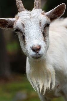 Free White Goat Royalty Free Stock Photos - 8928288
