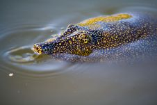 Trionyx Triunguis (Nile Soft-shell Turtle) Royalty Free Stock Photo