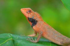 Free Chameleon Royalty Free Stock Photo - 8929285