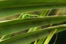 Free Hawaiian Gecko Perch Stock Image - 8929321