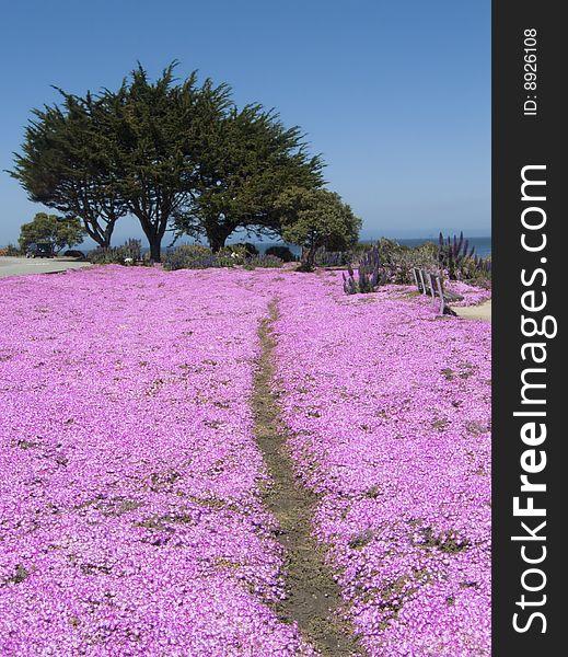 Coastal path through pink flowers free stock images photos coastal path through pink flowers mightylinksfo