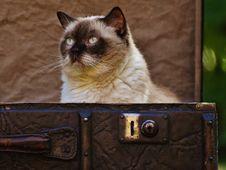 Free Portrait Of Siamese Cat Royalty Free Stock Photo - 89250175