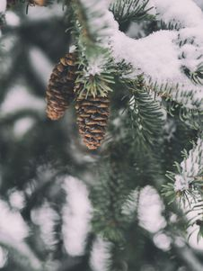 Free Snowy Branches Royalty Free Stock Images - 89251019