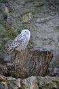 Free White Owl Royalty Free Stock Photo - 8933405