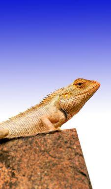 Free Chameleon Stock Image - 8931021