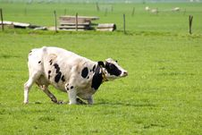 Free Cow Is Standing Up In A Fresh Meadow Stock Images - 8932144