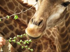 Free Giraffe Eating The Leafs Stock Photo - 8932190