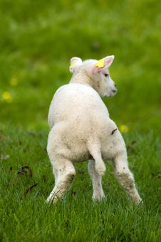 Free Cute Little Lamb Is Urinating Royalty Free Stock Photography - 8932227