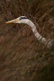 Free Grey Heron Stock Photography - 8932362