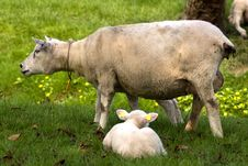 Free A Sheep And A Cute Lamb In Spring Royalty Free Stock Photography - 8932557