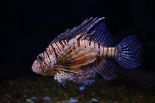 Free Lionfish Stock Photo - 8933370