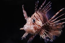 Free Lionfish Stock Images - 8933384
