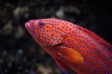 Free Red Groper Stock Photography - 8933392