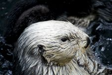 Free Sea Otter Close-up Royalty Free Stock Photos - 8934458
