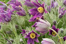 Free Pasqueflower Royalty Free Stock Image - 8935086