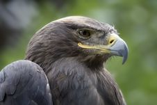 Free Eagle Royalty Free Stock Photo - 8935275