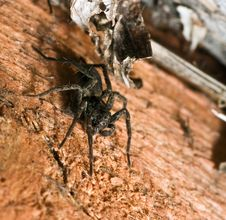 Creepy Brown Wolf Spider Royalty Free Stock Photography