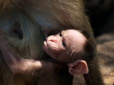 Free Bonnet Macaque Stock Photos - 8936123
