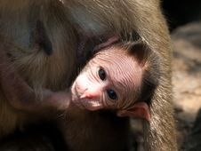 Free Bonnet Macaque Royalty Free Stock Photo - 8936125