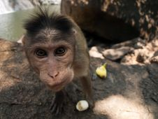 Free Bonnet Macaque Stock Image - 8936131