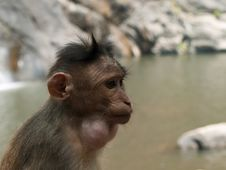 Free Bonnet Macaque Royalty Free Stock Photography - 8936137