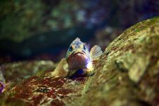 Rock Fish Stock Images