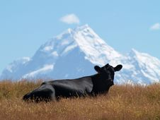 Free Cow With Mount Cook In The Background Stock Image - 8939581