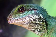 Free Green Lizard Royalty Free Stock Photos - 89305758