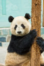 Free Giant Panda Stock Photo - 8943230