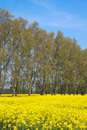 Free Rapeseed Field Stock Photos - 8946583