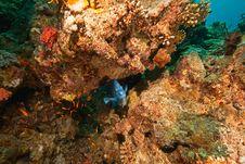 Free Yellowbar Angelfish Around Sha Ab Mahmud Royalty Free Stock Photography - 8940897