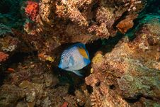 Free Yellowbar Angelfish Around Sha Ab Mahmud Stock Images - 8941024