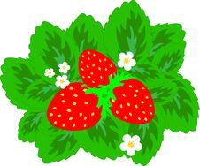 Free Strawberries Stock Image - 8941181