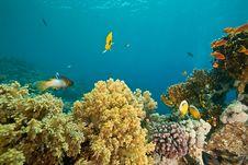 Free Coral And Fish Around Sha Ab Mahmud Royalty Free Stock Image - 8941476