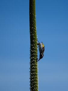 Honeyeater On A Grass Tree Flower Spike Stock Images