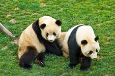 Free Giant Panda Stock Photo - 8942510