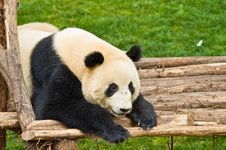 Free Giant Panda Royalty Free Stock Images - 8942859