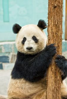 Free Giant Panda Stock Photo - 8943230