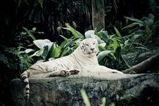 Free White Tiger Royalty Free Stock Image - 8943386