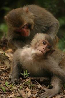 Free Rhesus Macaque (Monkey) Stock Image - 8943671