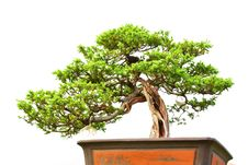 Free Bonsai Royalty Free Stock Image - 8944666