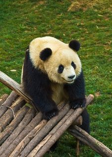 Free Giant Panda Royalty Free Stock Images - 8944739