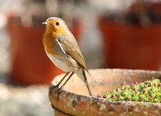 Free Robin Stock Photo - 8947410