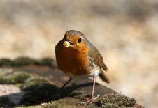 Free Robin Stock Image - 8947651
