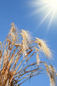 Free Wheat Stems. Stock Photos - 8947703