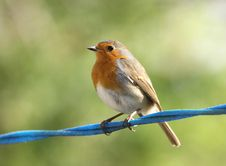 Free Robin Stock Photography - 8947922