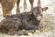 Free Young Calf Stock Photography - 8948072